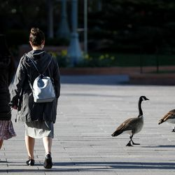 A pair of missionaries for The Church of Jesus Christ of Latter-day Saints and a pair of geese walk through Temple Square in Salt Lake City before the start of the 190th Annual General Conference on Saturday, April 4, 2020. Due to the spread of COVID-19, the conference is being broadcast without church members in attendance.