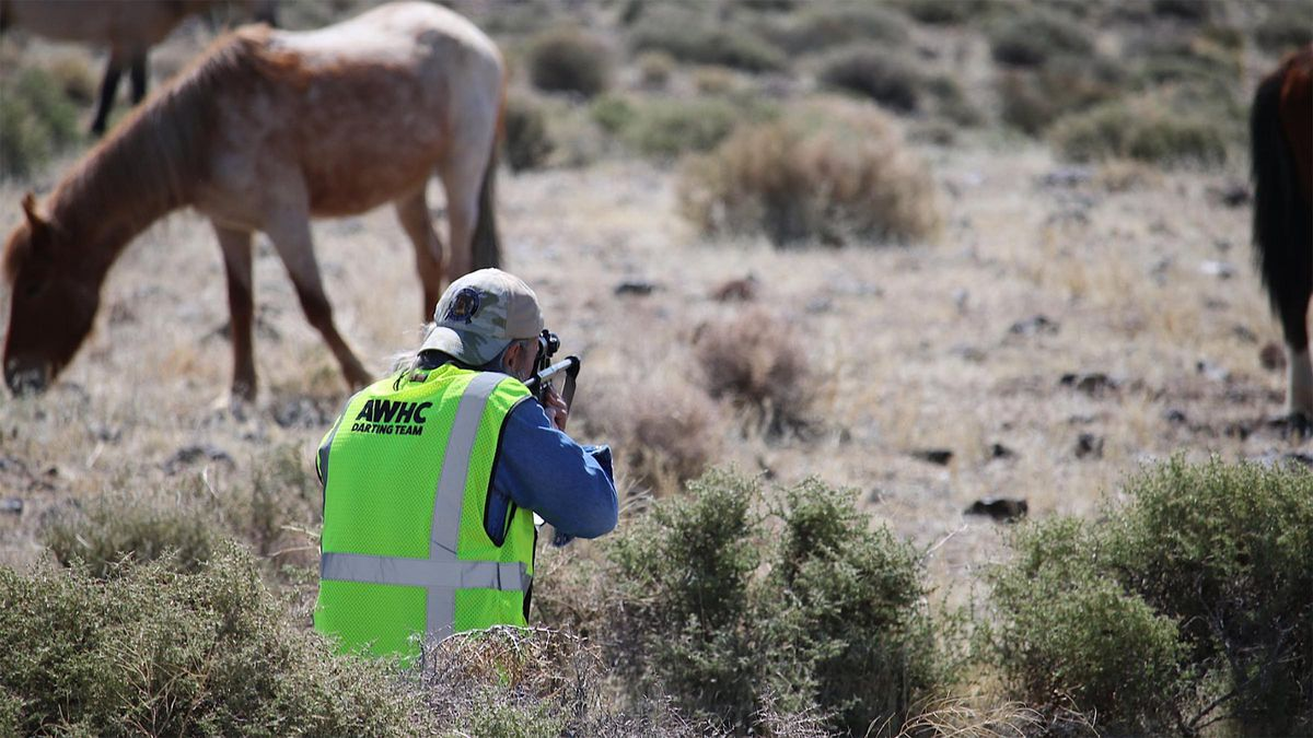 Volunteers with the American Wild Horse Campaign dart wild horses of the Virginia Range near Reno, Nevada, to administer a fertility control vaccine to reduce pregnancies among the mares. The program started in 2019 and so far has treated more than 1,300 horses with 3,000-plus doses — the largest such effort in the world.