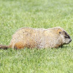 A groundhog somehow got onto the field at Morrone Stadium. Wanted to share that with all of you.