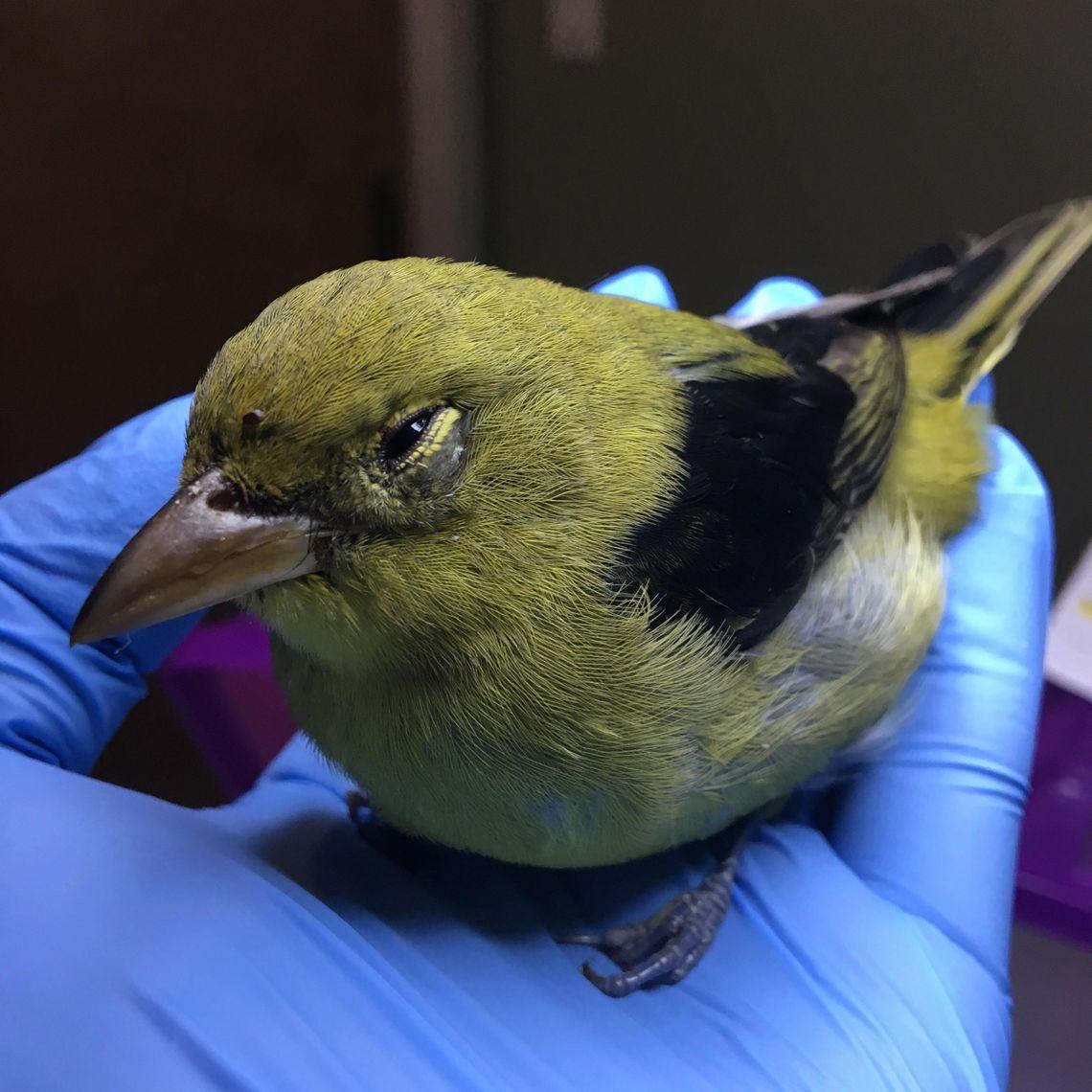 Injured scarlet tanager