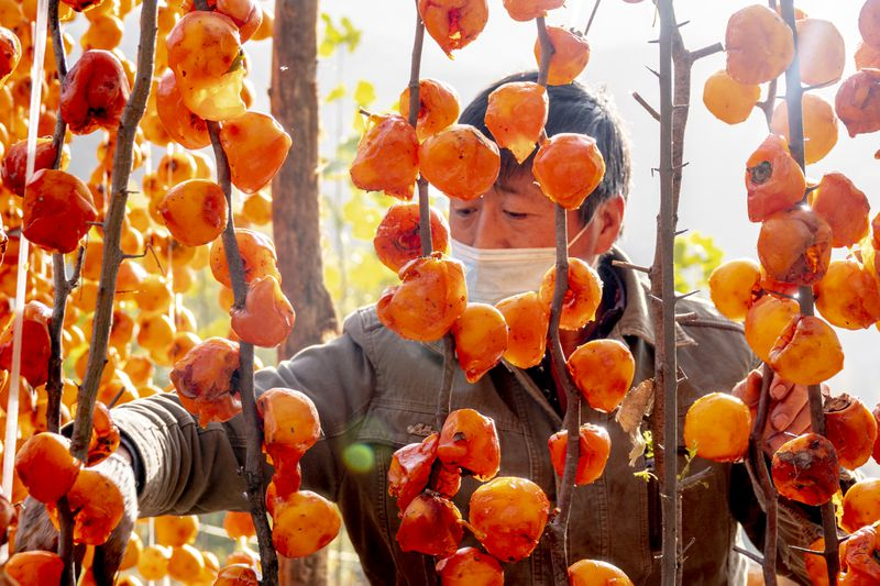 A man stands behind a thicket hanging skinned persimmons on strings from tree branches.