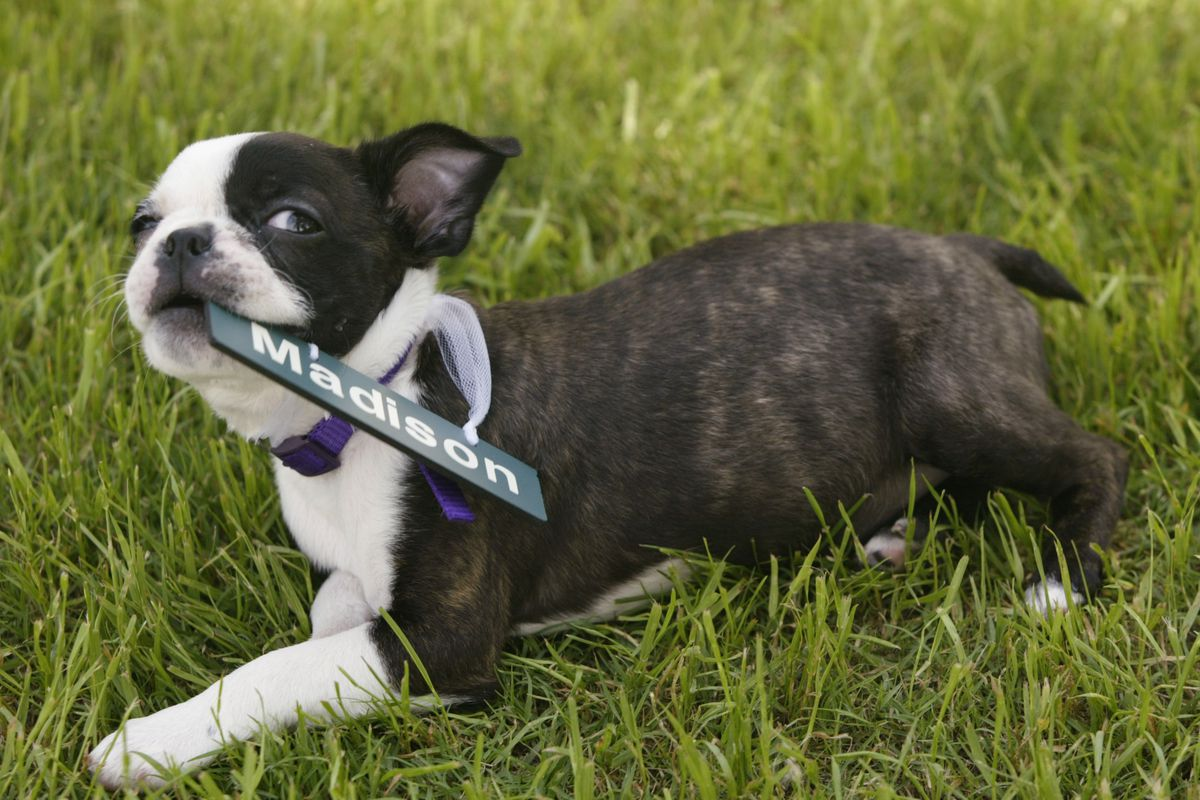 19 Apr 2002: Martina Navratilova's Boston Terrier puppy Madison plays in the grass during the Family