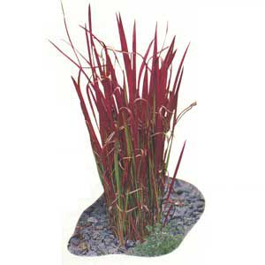 <p>Japanese blood grass shows hints of the vibrant-red color that takes over established plants in summer.</p>