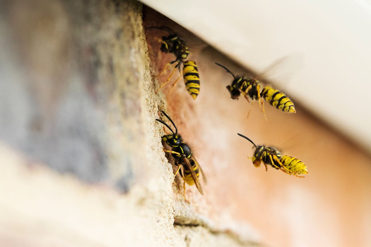 Bright yellow wasps swarming on the exterior of a red brick home.