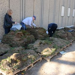 12:53 p.m. Stacks of sod being picked over, next to Gate D on Sheffield -