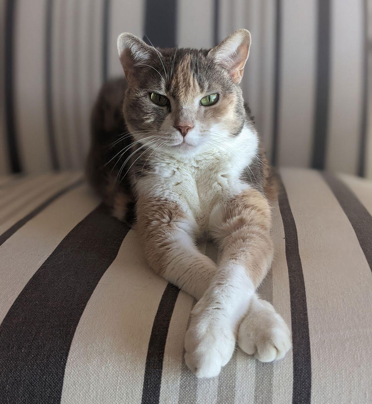 Foto de un gato en una pose muy cuidada con las patas cruzadas.