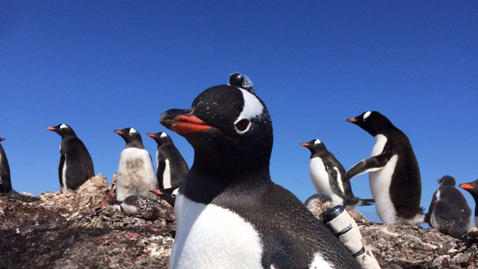 Spying on penguins is as simple as taping a camera to their backs
