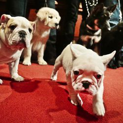 A bulldog, from left, a golden retriever, a French bulldog, a German shepherd and a Labrador retriever represent the five most popular breeds in AKC rankings. | AP file photo