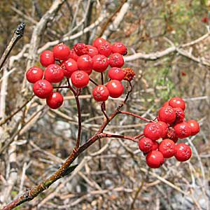 <p>Red elderberry, a shrub of the Rocky Mountain forests and Alpine regions</p>