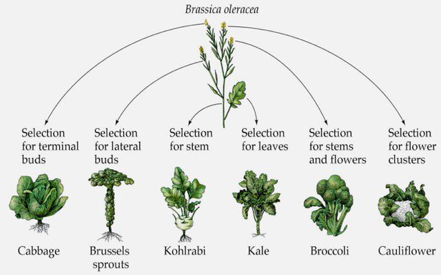 Kale Brussels Sprouts Cauliflower And Cabbage Are All Varieties