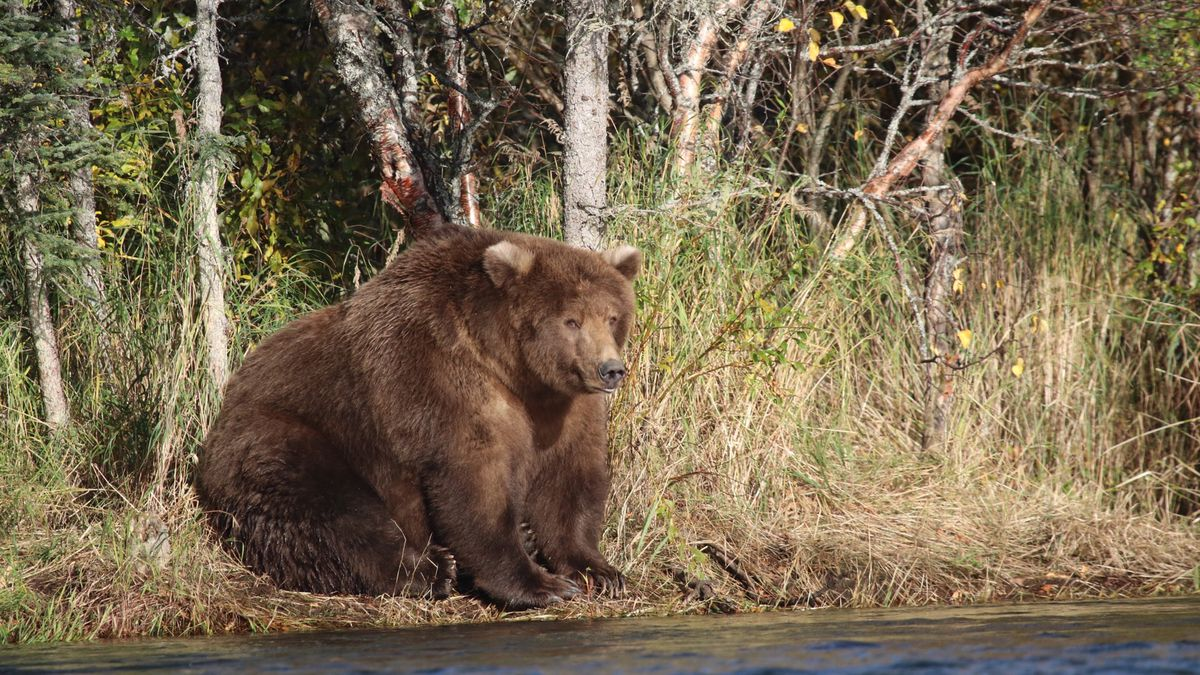 Fat Bear Week Beadnose Is Katmai National Parks Fattest Vox Scroll Saw Wilderness 409 Aka Won The 2018 Competition For According To Park When She Not Raising Cubs