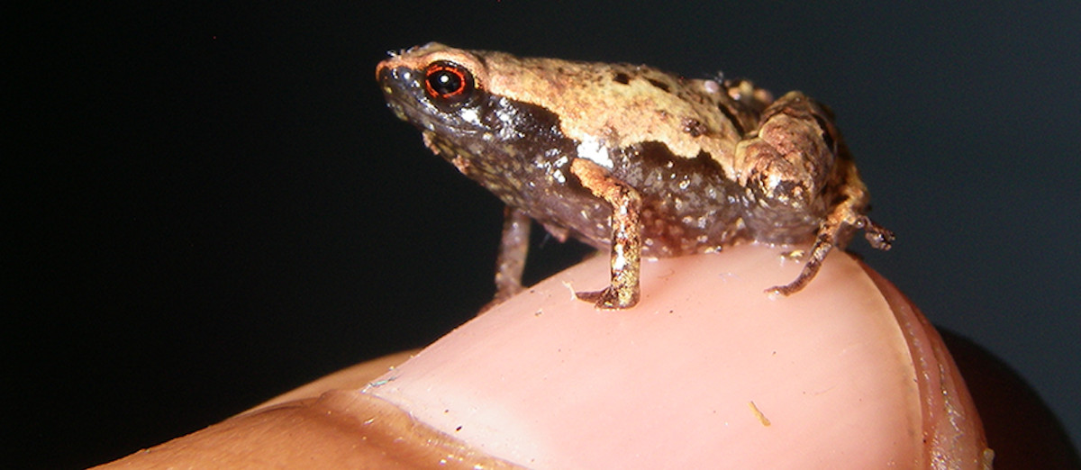 One of the new frog species discovered in Madagascar.