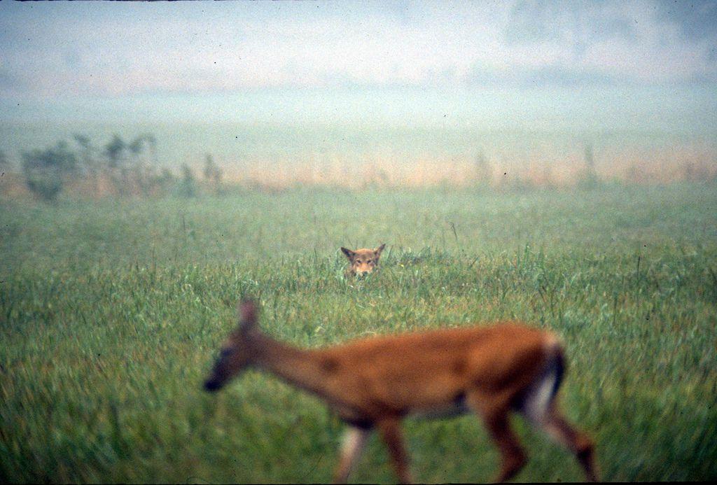Killing off wild predators is a stupid idea - The Verge