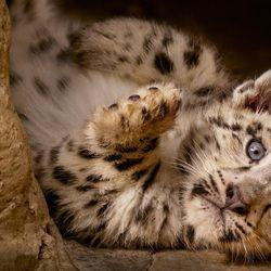 """Dawa's cub in """"Born in China."""""""