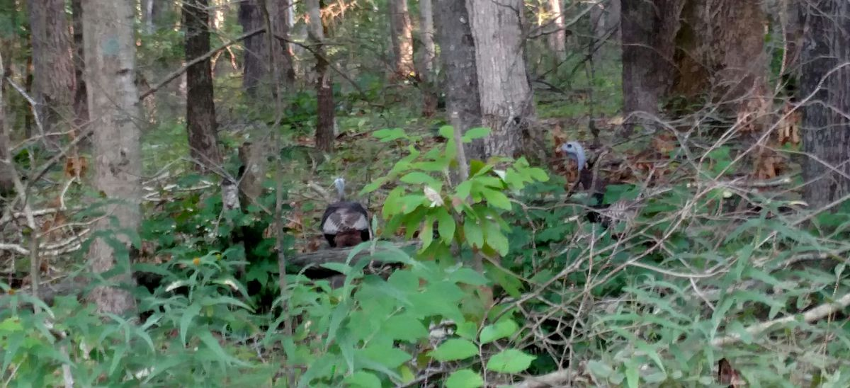 Turkeys sneaking away at Forbes State Park on a visit to southern Illinois for the total eclipse.<br>Credit: Dale Bowman