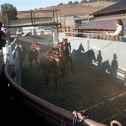 Horses are sorted Friday at the Extreme Mustang Makeover Competition in Herriman. In the competition, 34 horse trainers from multiple states pick up a preselected wild horse to be trained over the course of the next 90 days.