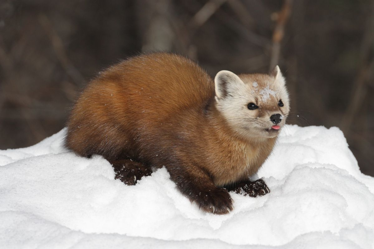 the verge review of animals the marten the verge