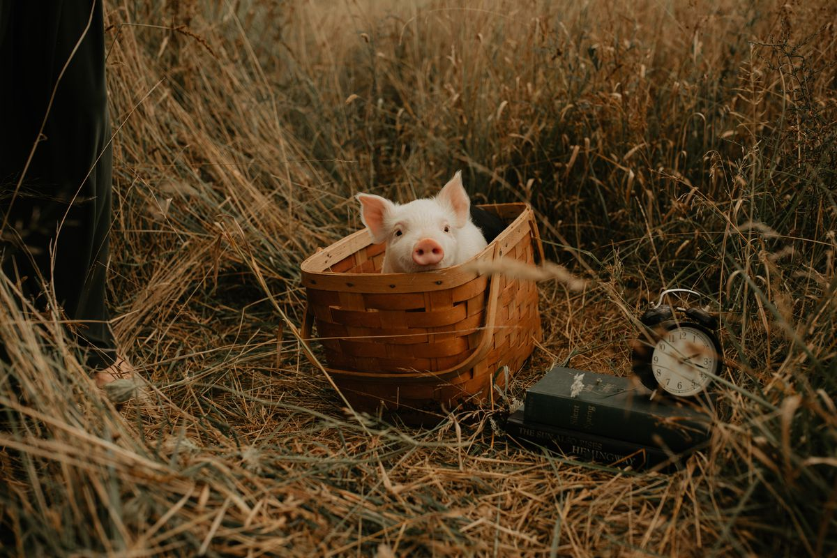 Franklin the pig pokes his head out of a picnic basket.