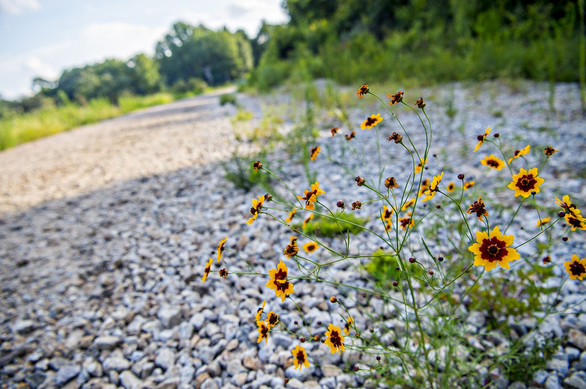 Wildflowers of orange and yellow rise out of white gravel.