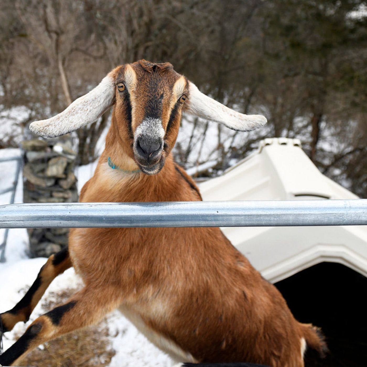 d9d6c65534 Vermont Town Elects Goat As Mayor, Immediately Craps On Stage ...
