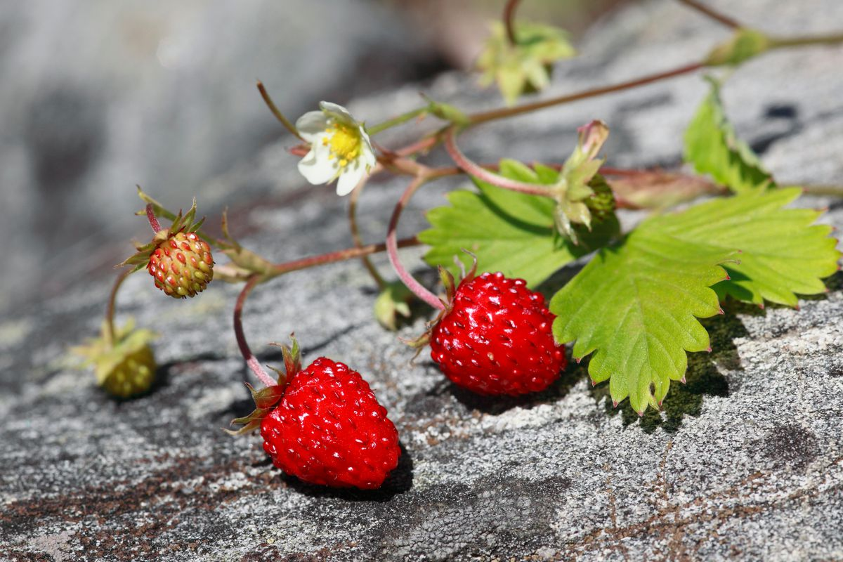 Small wild strawberries and their flowers grow on the vine.