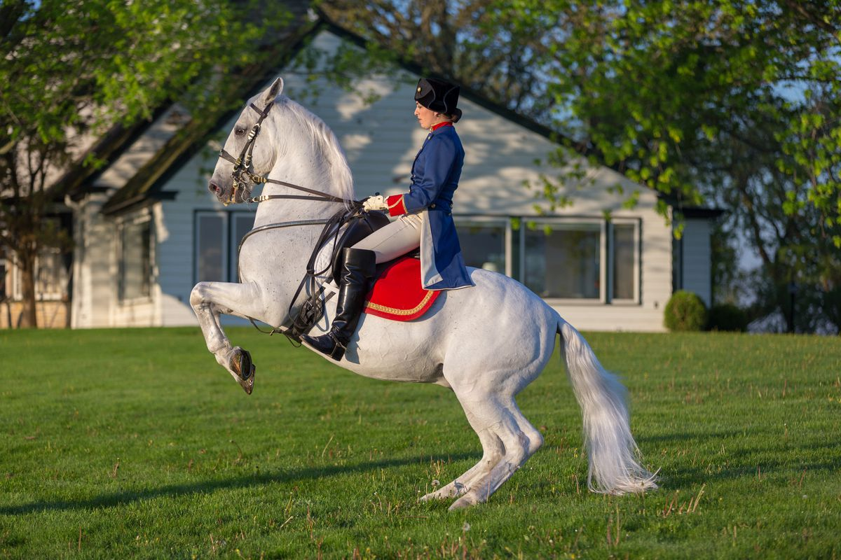 """A Tempel Lipizzan stallion performs """"Airs Above the Ground."""""""