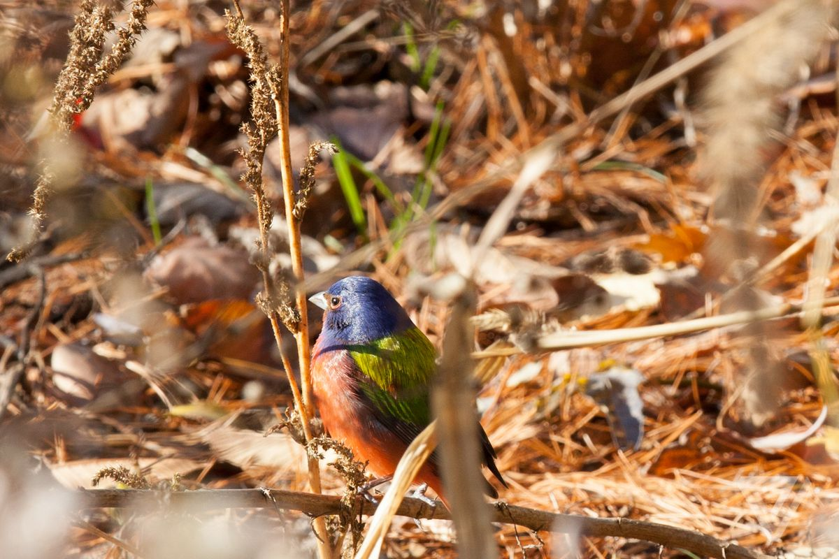 Painted Bunting-bird-report-7-cropped