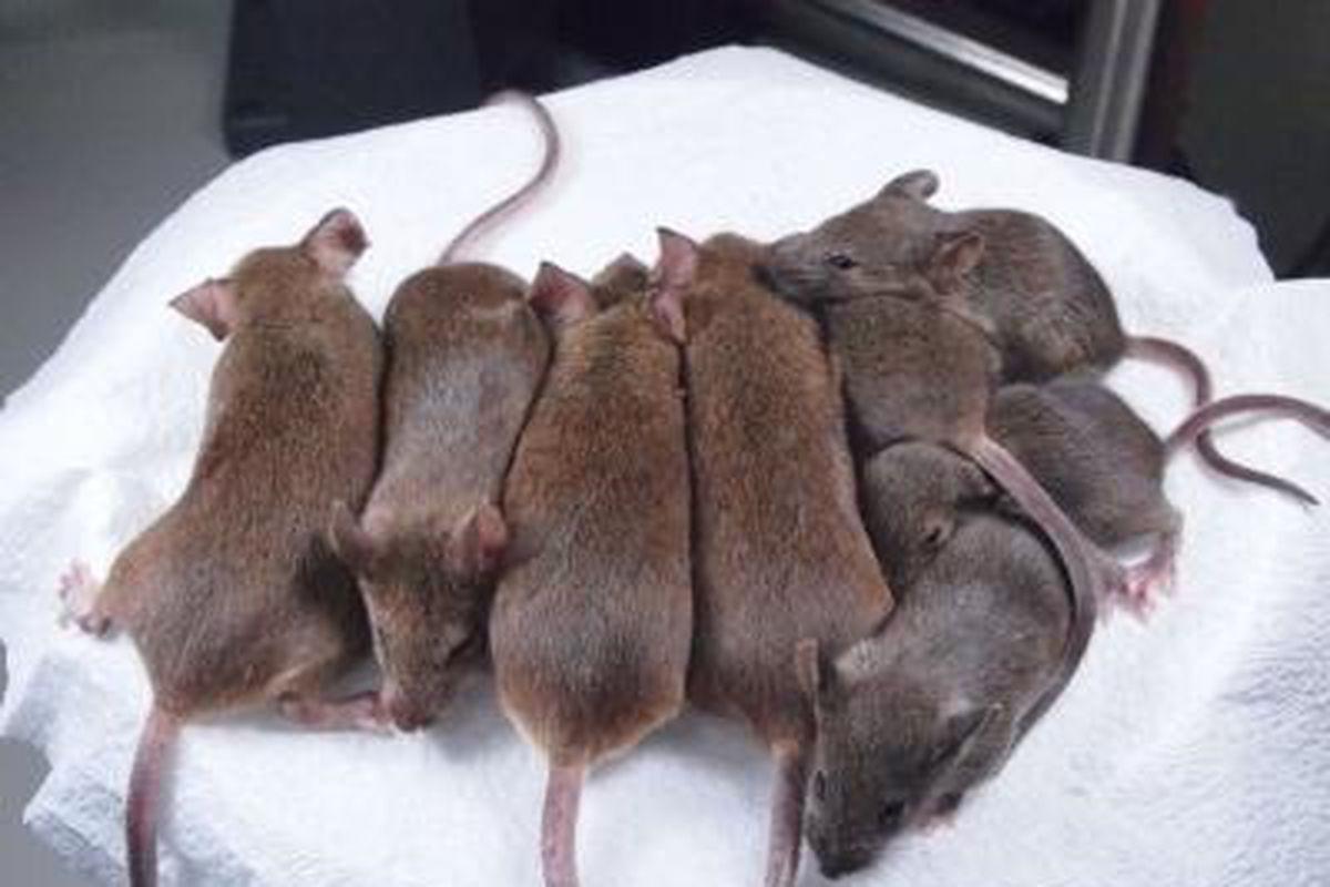"""via <a href=""""http://i.livescience.com/images/i/000/037/582/original/cloned-mice.jpg?1362772908"""">i.livescience.com</a>"""