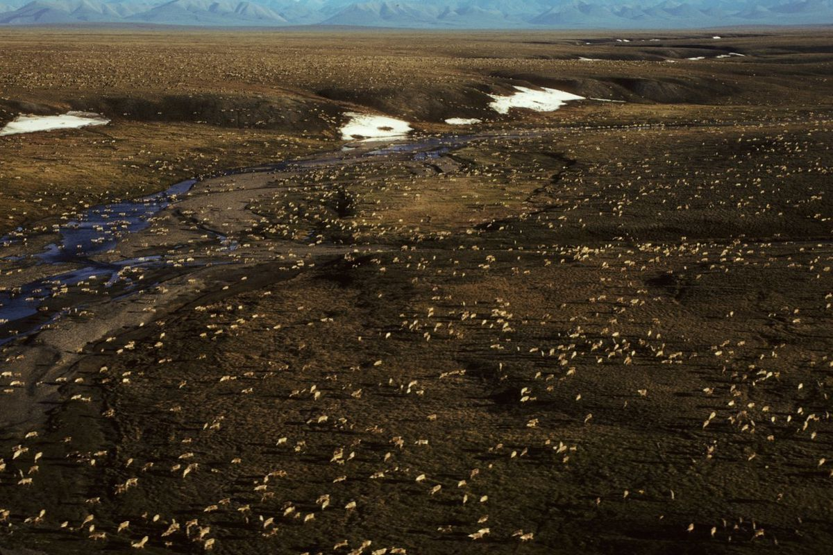 This undated aerial photo provided by U.S. Fish and Wildlife Service shows a herd of caribou on the Arctic National Wildlife Refuge in northeast Alaska. The Biden administration is suspending oil and gas leases in Alaska's Arctic National Wildlife Refuge as it reviews the environmental impacts of drilling in the remote region.