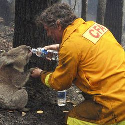 Firefighter David Tree shares his water last February with an injured koala, later nicked named Sam, at Mirboo North after wildfires swept through the region.