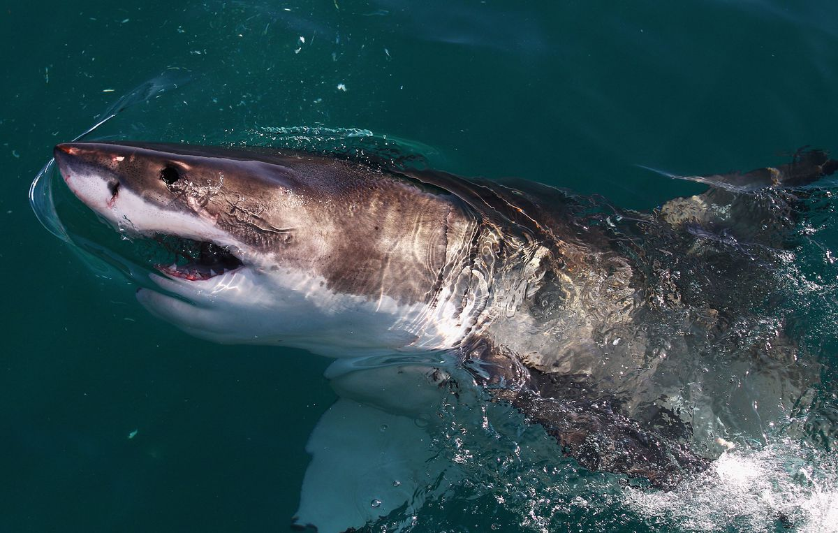 Great White Sharks in South Africa
