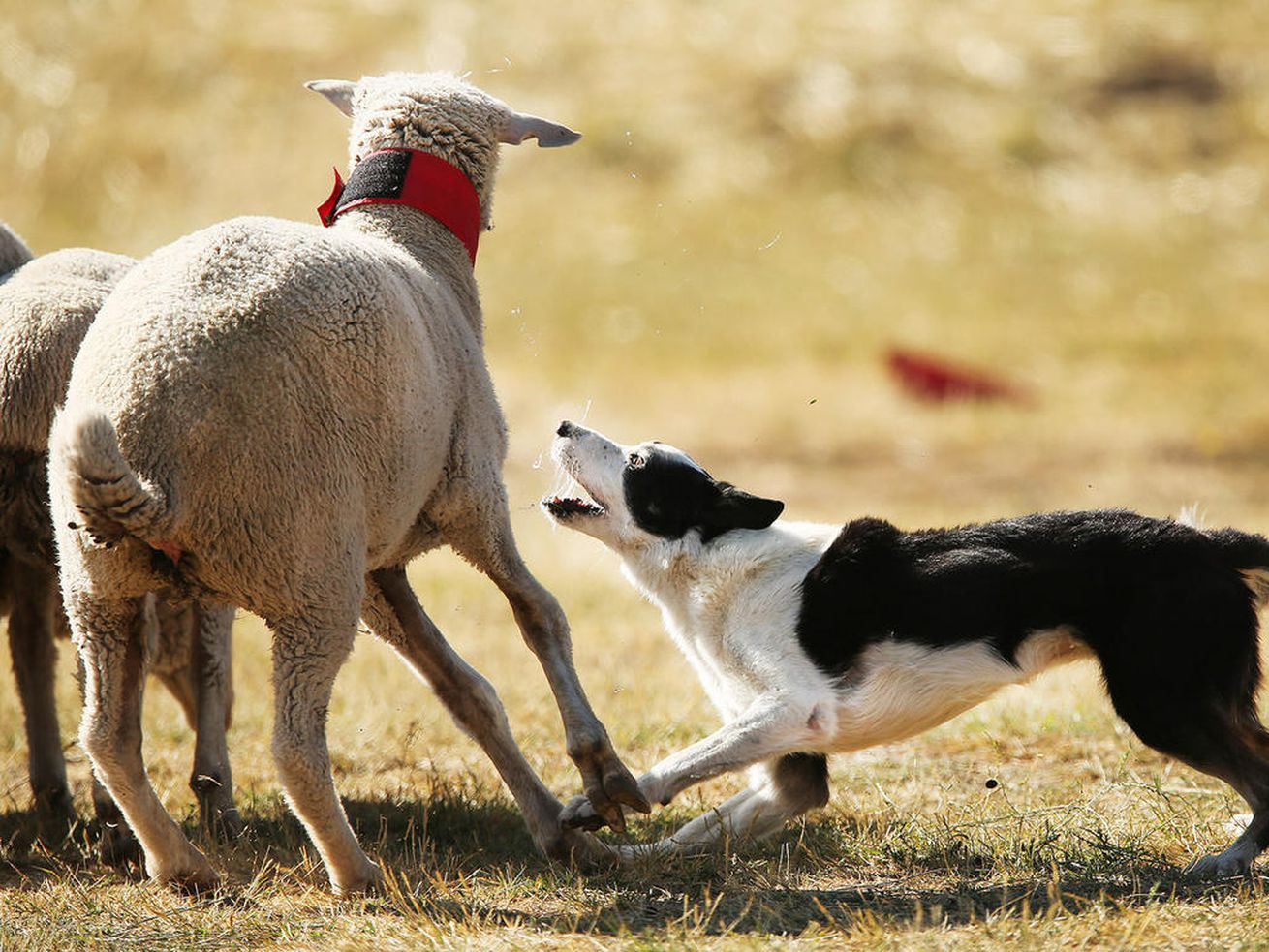 Your Weekend: At Utah's Soldier Hollow Sheepdog Classic, a bunch of very good boys