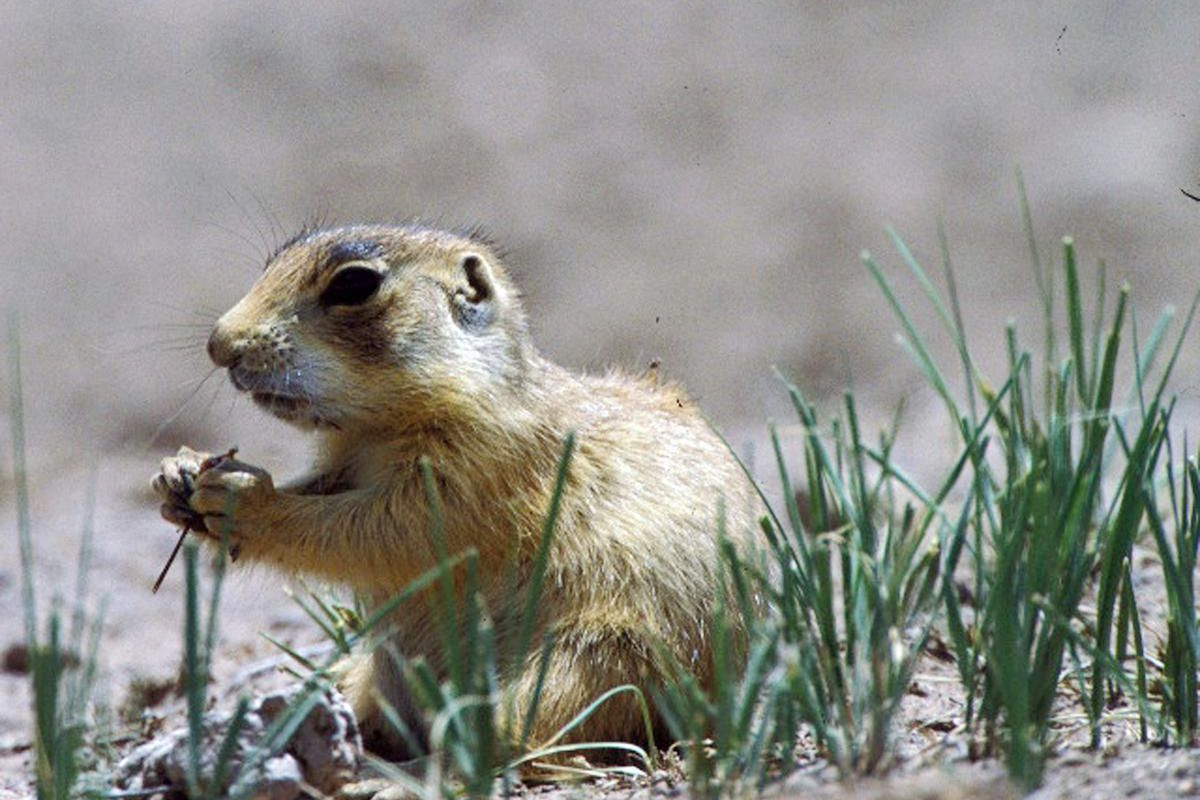 _In this undated file photo released by Forest Guardians, a prairie dog eats in southwestern Utah._
