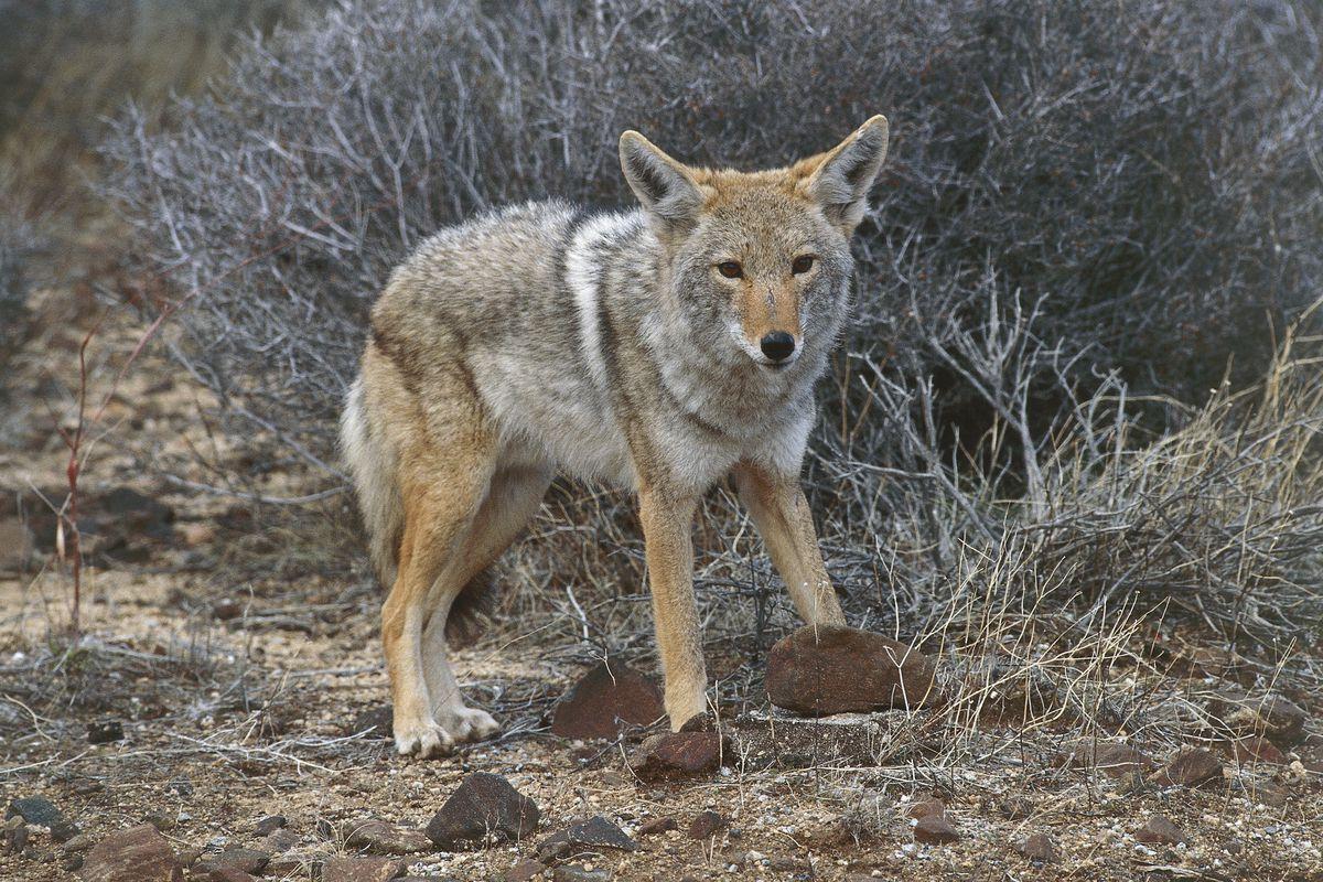 Coyote (Canis latrans)...