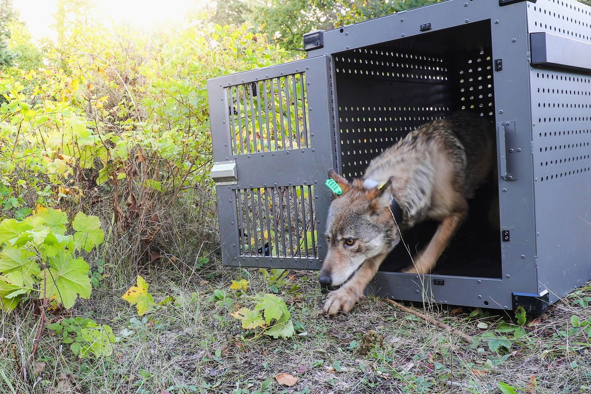 A 4-year-old female gray wolf emerged from her cage as it was released at Isle Royale National Park in Michigan in 2018. Now, wolf pups have been spotted again on Isle Royale.
