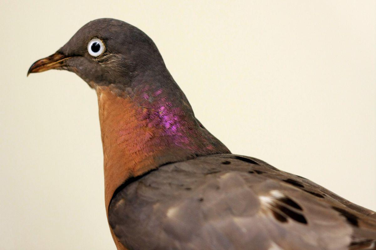 A preserved passenger pigeon at the Cornell University Museum of Vertebrates.