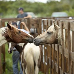 A wild pony from the southern herd, left, and a wild pony form the northern herd stretch nuzzle each other as they rest in pens on Assateague Island, Va., after being gathered and given a vet check before their swim to Chincoteague Island on Tuesday, July 23, 2019.