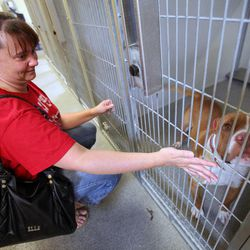 Jodi Reed looks at a pit bull at the West Valley City Animal Shelter in West Valley City on Saturday, Sept. 1, 2012.