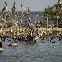 Pelicans are seen amongst dead mangrove on Cat Island in Barataria Bay in Plaquemines Parish, La., Wednesday, April 11, 2012.