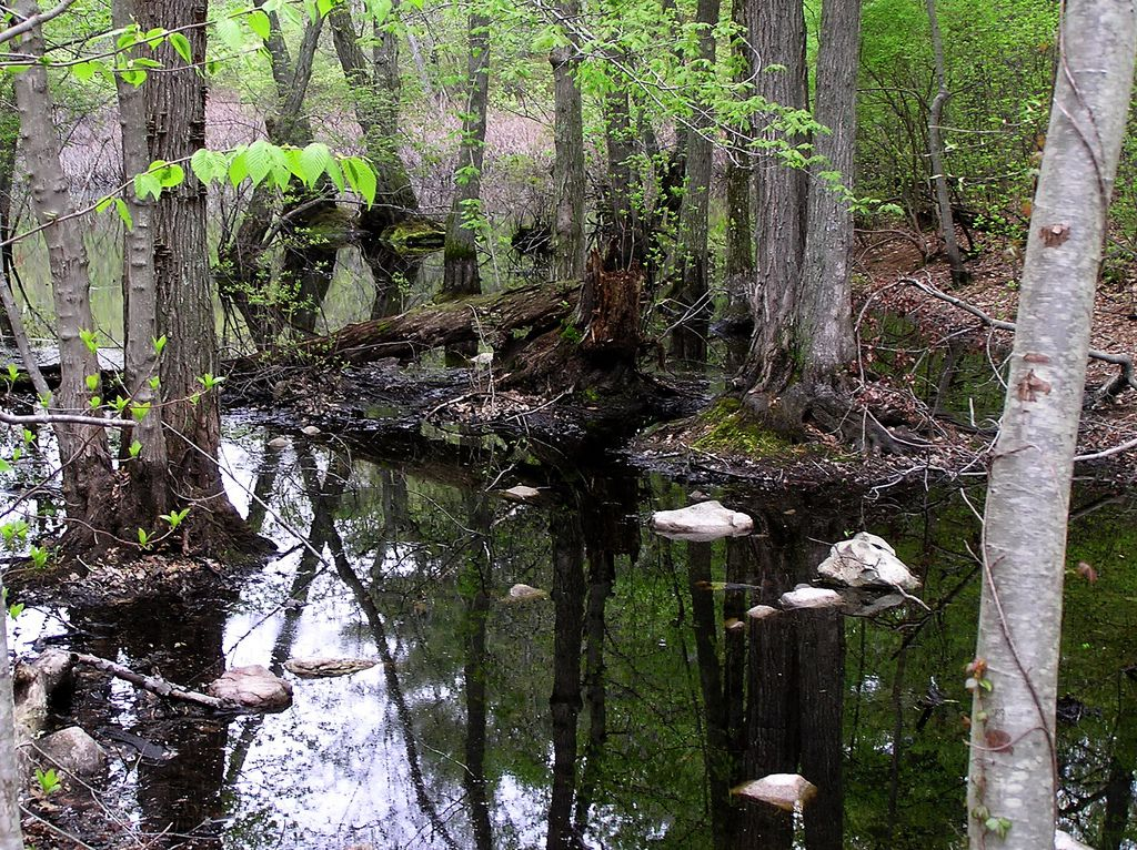 A swampy pond surrounded by trees with leaves on the ground too.