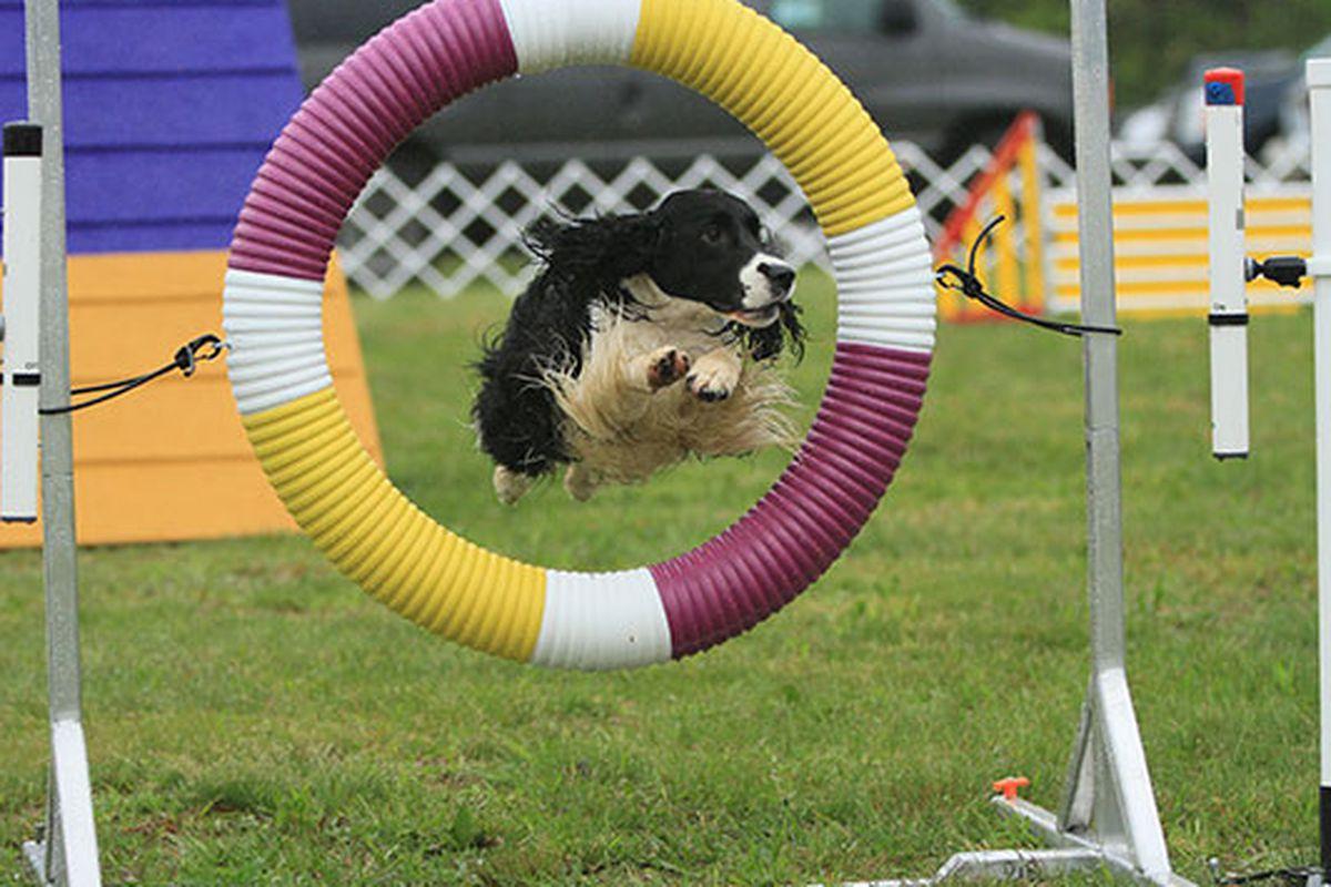 Photo via Westminster Kennel Club
