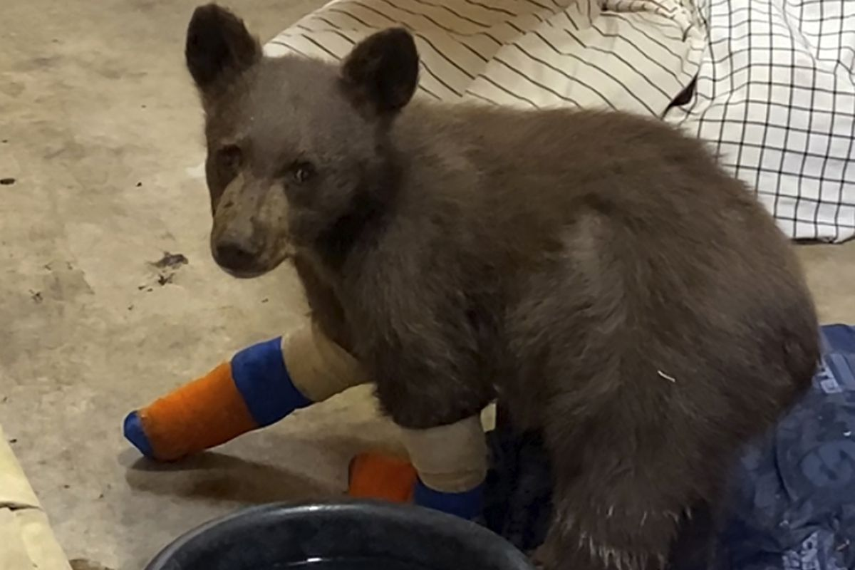 A bear cub that was taken in for treatment to Lake Tahoe Wildlife Care after it suffered burns in a California wildfire.