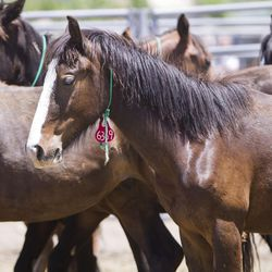 Young mustangs stand in a tight herd outside of the arena during the first day of the Wild Horse and Burro Show at the Legacy Events Center in Farmington on Friday, June 9, 2017.
