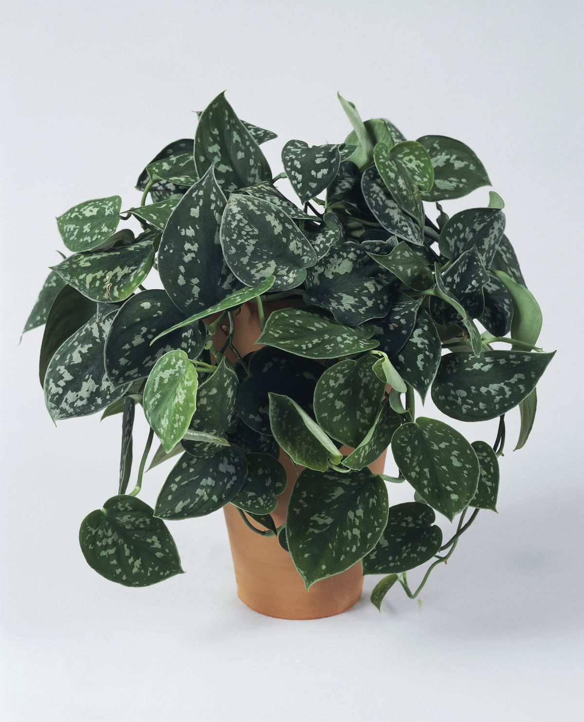 Satin pothos or Silver philodendron, Araceae.