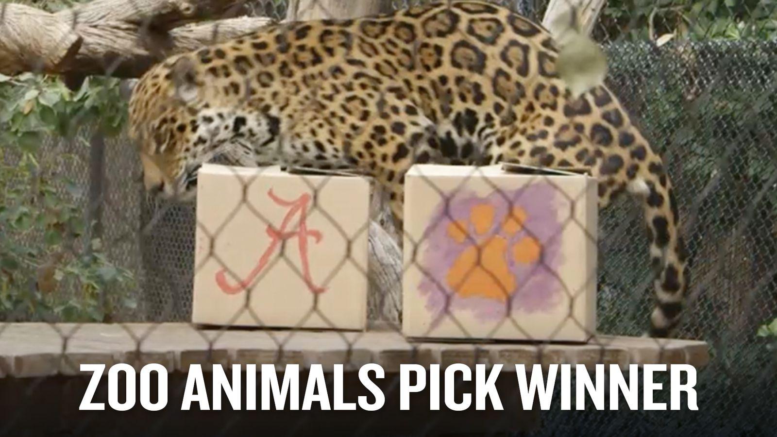 Zoo Animals Pick Winner Of Alabama Clemson Sbnation Com