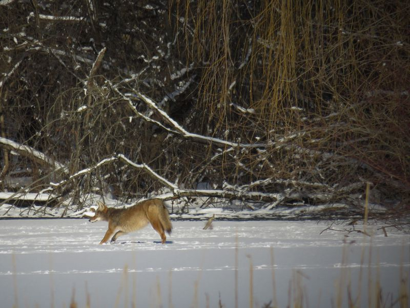 File photo that Sandy Melovicphotographed, with her zoom, of coyotes across a pond while her husband,Steve, shot trap at Naperville Sportsman's Club in 2019. Provided photo