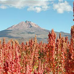 The seeds of the quinoa plants growing in Bolivia are among the most nutritious in the world. BYU researchers are helping native farmers improve quinoa production.