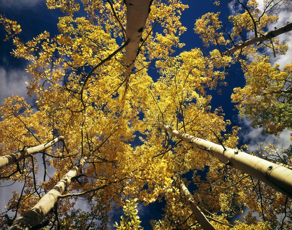 Quaking aspen in Colorado (not Pando)