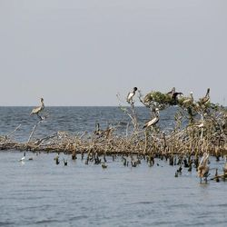 Pelicans sit on an abutment of dead mangrove that was formerly robust, on Cat Island in Barataria Bay in Plaquemines Parish, La., Wednesday, April 11, 2012.