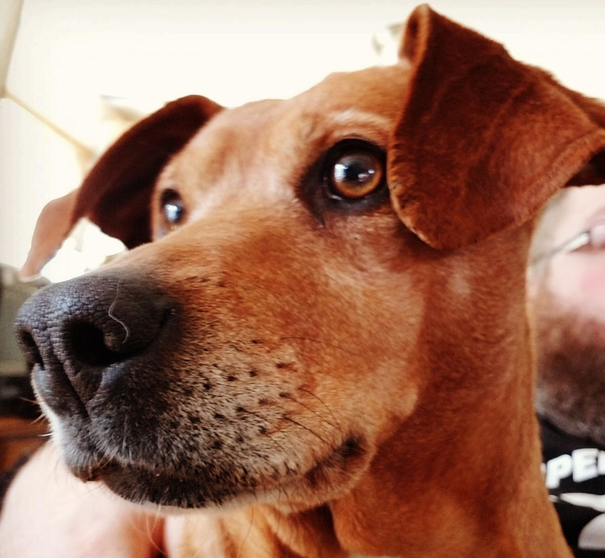 A closeup of a redbone coonhound and feist mix named Bailey